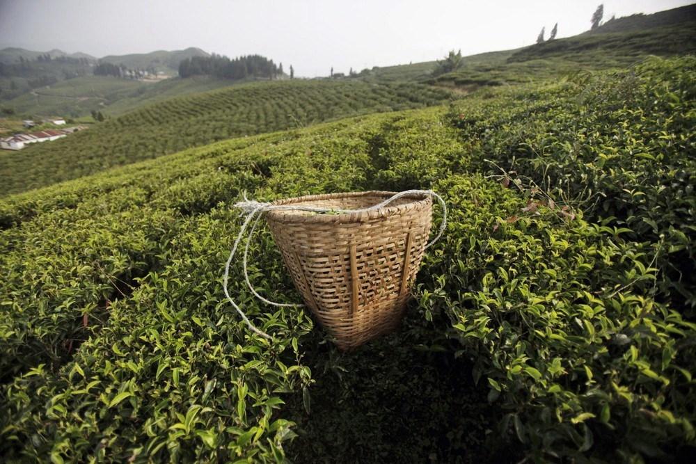 茶园怎么施用复合肥?安阳中盛肥业小编来告诉你!