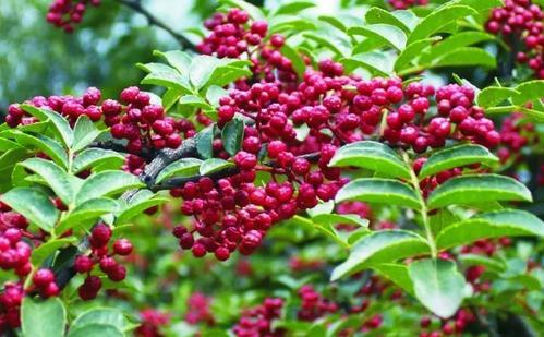 花椒树的种植特点及花椒德赢winapp施肥技巧有哪些?